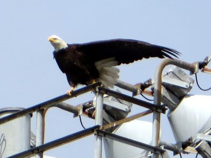 Eagles nest attracts attention in Algiers